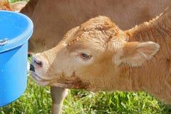 αγελάδα που πίνει το Χολστάιν Στοκ Εικόνες