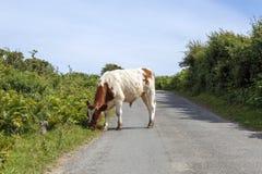 Αγελάδα που περιπλανιέται σε μια πάροδο χώρας Στοκ εικόνα με δικαίωμα ελεύθερης χρήσης