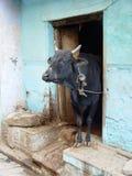 Αγελάδα που στέκεται στο άνοιγμα πορτών Στοκ εικόνες με δικαίωμα ελεύθερης χρήσης