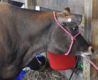 Αγελάδα που στηρίζεται σε έναν στάβλο στην έκθεση νομών Στοκ εικόνα με δικαίωμα ελεύθερης χρήσης