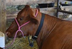 Αγελάδα που στηρίζεται σε έναν στάβλο στην έκθεση νομών Στοκ Εικόνες