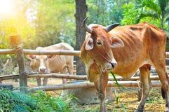 Αγελάδα που τρώει τη χλόη το πρωί στοκ εικόνες