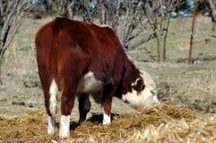 αγελάδα που τρώει hereford Στοκ Φωτογραφίες