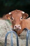 Αγελάδα ραφιών και περίεργη αγελάδα (όψη κινηματογραφήσεων σε πρώτο πλάνο) Στοκ φωτογραφία με δικαίωμα ελεύθερης χρήσης