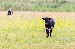 Αγελάδα σε ένα λιβάδι στη φύση Στοκ Φωτογραφίες