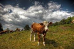 Αγελάδα σε ένα λιβάδι Στοκ φωτογραφίες με δικαίωμα ελεύθερης χρήσης