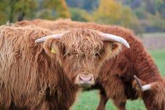 αγελάδα σκωτσέζικα στοκ εικόνες