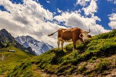 Αγελάδα στα ελβετικά βουνά Στοκ Φωτογραφίες