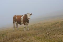 Αγελάδα στην ομίχλη Στοκ εικόνες με δικαίωμα ελεύθερης χρήσης