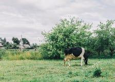 Αγελάδα στον κήπο Στοκ φωτογραφία με δικαίωμα ελεύθερης χρήσης