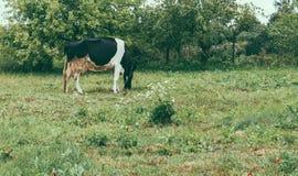 Αγελάδα στον κήπο Στοκ φωτογραφίες με δικαίωμα ελεύθερης χρήσης