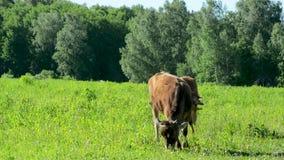 Αγελάδα στο λιβάδι που τρώει τη χλόη, που περπατά στο πράσινο φιλμ μικρού μήκους