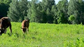 Αγελάδα στο λιβάδι που τρώει τη χλόη, που περπατά στο πράσινο απόθεμα βίντεο