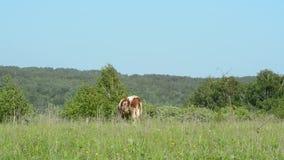 Αγελάδα στο λιβάδι που τρώει τη χλόη, που περπατά στην πράσινη χλόη απόθεμα βίντεο