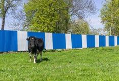 Αγελάδα στο λιβάδι Στοκ εικόνα με δικαίωμα ελεύθερης χρήσης