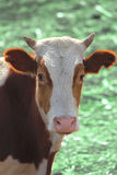Αγελάδα στο πεδίο Στοκ φωτογραφία με δικαίωμα ελεύθερης χρήσης
