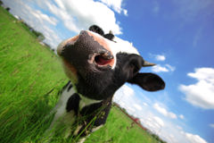 Αγελάδα στο πράσινο πεδίο Στοκ Φωτογραφίες