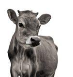 αγελάδα Τζέρσεϋ στοκ φωτογραφίες