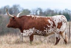 Αγελάδα του Τέξας Longhorn στο Τέξας στοκ εικόνες