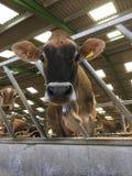 Αγελάδα του Τζέρσεϋ που εξετάζει τη κάμερα στοκ εικόνα με δικαίωμα ελεύθερης χρήσης
