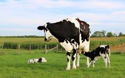 Αγελάδα του Χολστάιν στο λιβάδι με νέο της - γεννημένοι μόσχοι στοκ εικόνες