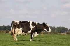 Αγελάδα του Χολστάιν στο λιβάδι Στοκ εικόνες με δικαίωμα ελεύθερης χρήσης