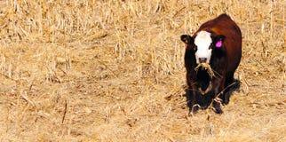 αγελάδα του Angus Στοκ Εικόνες