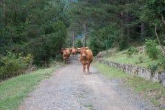 Αγελάδα των Πυρηναίων με τα κουδούνια που περπατούν κάτω από την πορεία Στοκ Φωτογραφία