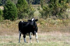 αγελάδα Χολστάιν Στοκ εικόνες με δικαίωμα ελεύθερης χρήσης
