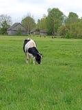 αγελάδα Χολστάιν Στοκ Εικόνες