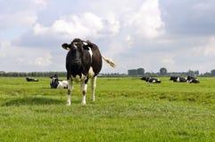 αγελάδα Χολστάιν Στοκ Εικόνα