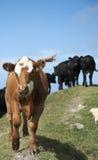 Αγελάδα χορού Στοκ Φωτογραφίες