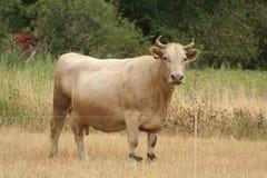αγελάδα Στοκ φωτογραφίες με δικαίωμα ελεύθερης χρήσης