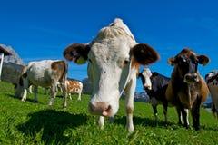 αγελάδα Στοκ Φωτογραφίες