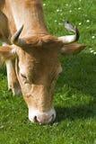 αγελάδα Στοκ φωτογραφία με δικαίωμα ελεύθερης χρήσης