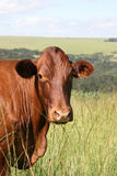 αγελάδα bonsmara Στοκ Φωτογραφίες