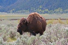 Αγελάδα Buffalo βισώνων στην κοιλάδα του Lamar στο εθνικό πάρκο Yellowstone στο Ουαϊόμινγκ ΗΠΑ Στοκ Εικόνες