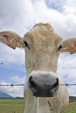 αγελάδα goegeous Στοκ Εικόνες