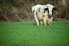 Αγελάδα Oreo στο αγρόκτημα σίτου Στοκ Φωτογραφία