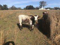 Αγελάδα Pineywoods στοκ φωτογραφία με δικαίωμα ελεύθερης χρήσης