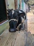 Αγελάδα Selife Στοκ Εικόνα
