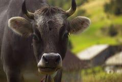 αγελάδα swizz Στοκ Εικόνα