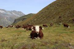 Αγελάδα Valle δ ` Aosta Στοκ Εικόνα