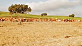 αγελάδες αρκετές Στοκ Εικόνα