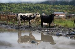 Αγελάδες βουνών με τη λάμψη στη λίμνη στοκ φωτογραφία με δικαίωμα ελεύθερης χρήσης
