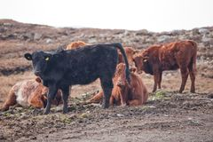 Αγελάδες βουνών στα βουνά στο νησί του Lewis και Harris Βορειοδυτική Σκωτία Στοκ Εικόνα