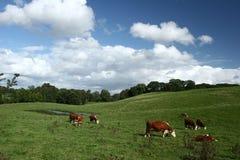 αγελάδες δανικά Στοκ Φωτογραφίες