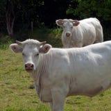 αγελάδες δύο Στοκ Εικόνες