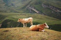 αγελάδες δύο στοκ εικόνες με δικαίωμα ελεύθερης χρήσης