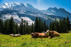 αγελάδες Ελβετός ορών στοκ φωτογραφίες με δικαίωμα ελεύθερης χρήσης